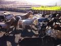 fabrication et dégustation de fromages de chèvre